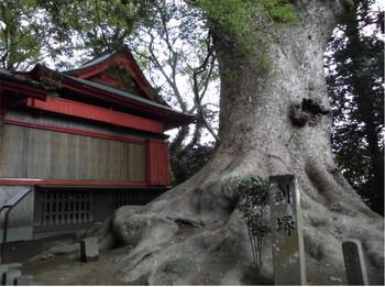 9国富町 本庄稲荷神社 巨大ご神木.JPG