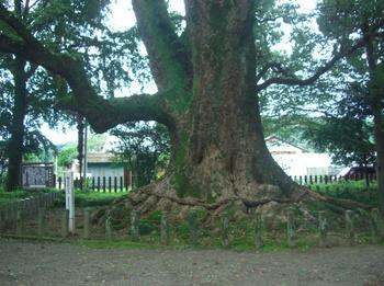 南方神社境内の大楠.JPG