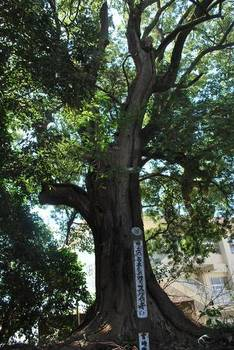 宮崎市12 加護神社 大楠木.jpg