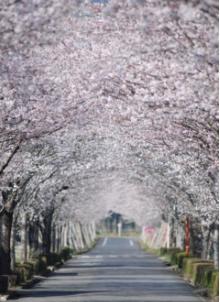 小林市 まきばの桜.PNG