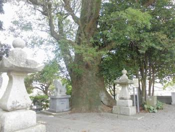日向市 栗尾神社 ご神木.jpg