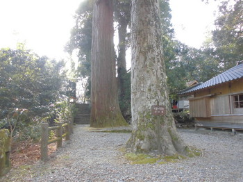 椎葉村 十根川神社 入口付近のブナ&杉.JPG