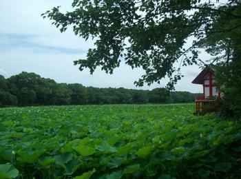 水沼神社裏の蓮の池.JPG