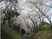 法華嶽公園の桜.3.PNG