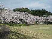 法華嶽公園の桜.PNG
