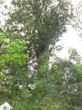 西都市12 平郡神社 境内ナギの樹.jpg